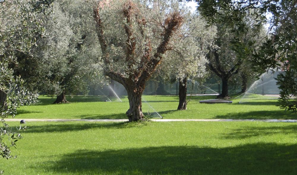 Irrigazione di ulivi realizzata da Il Germoglio