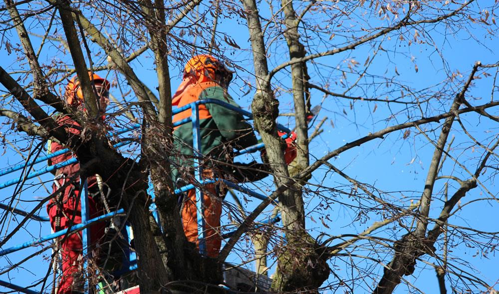 Close up manutenzione alberi realizzata da Il Germoglio