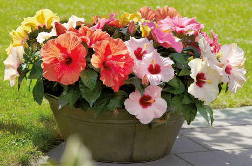 Exclusive Garden Collection: l'hibiscus thumb