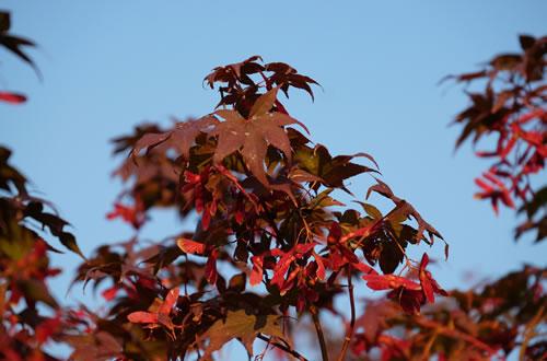Piante da giardino il germoglio for Aceri giapponesi