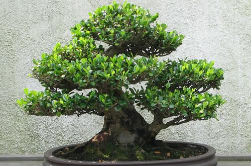 Bonsai thumb