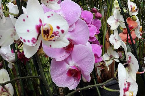 Orchidee thumb