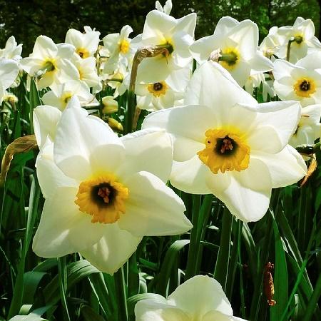 Conosciamo i bulbi autunnali blog il germoglio garden for Bulbi narcisi