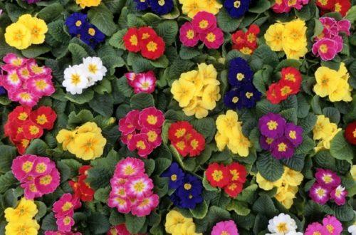Coltivare le Primule: diamo il benvenuto al primo fiore della primaverathumb