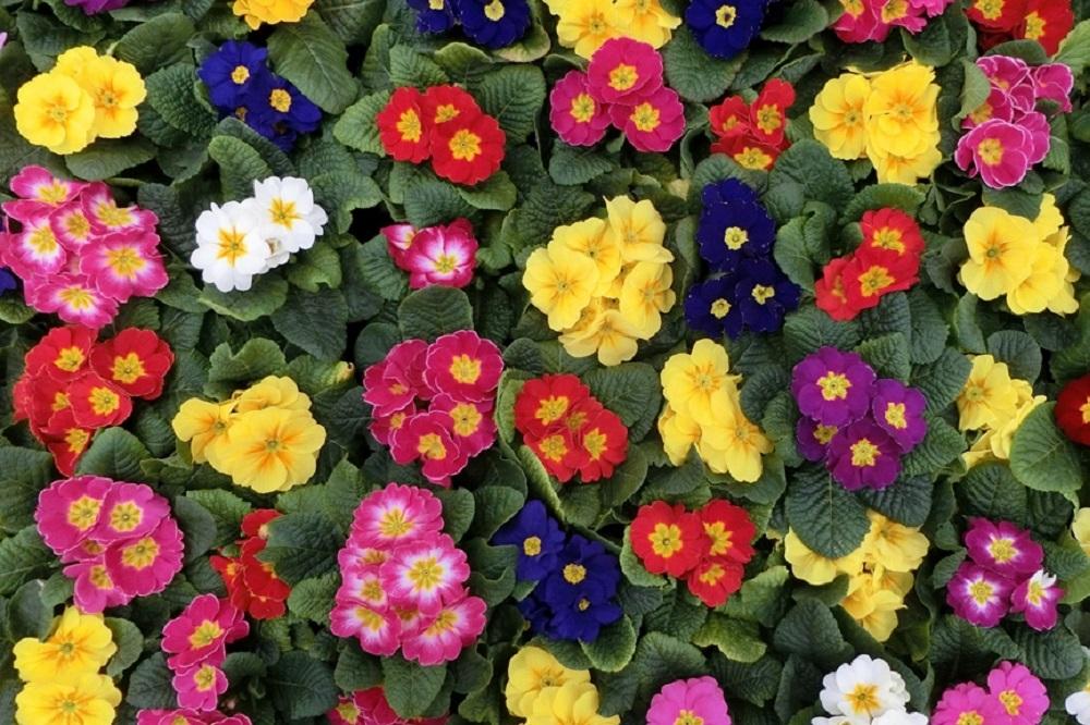 Coltivare le primule diamo il benvenuto al primo fiore for Primule da colorare