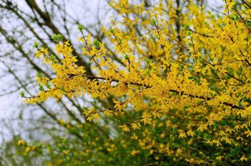 Forsizia: hai mai pensato a una siepe gialla?thumb