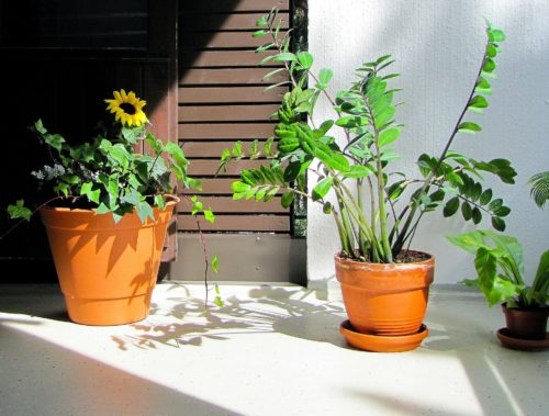 Pianta Da Appartamento Zamiifolia.Coltivare La Zamioculcas In Appartamento Blog Del Garden Il