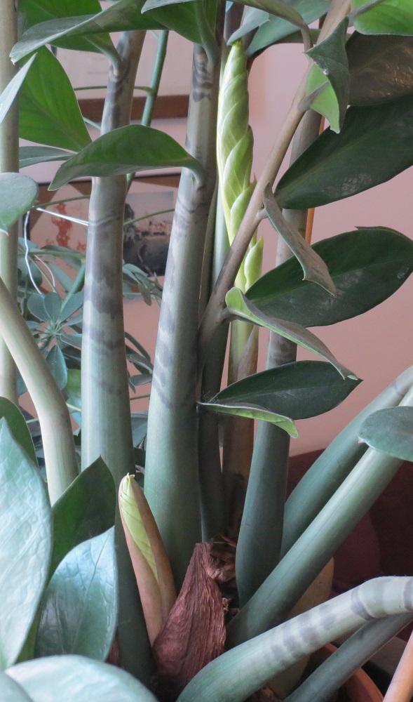 Piante Verdi Da Appartamento Zamioculcas.Coltivare La Zamioculcas In Appartamento Blog Del Garden Il