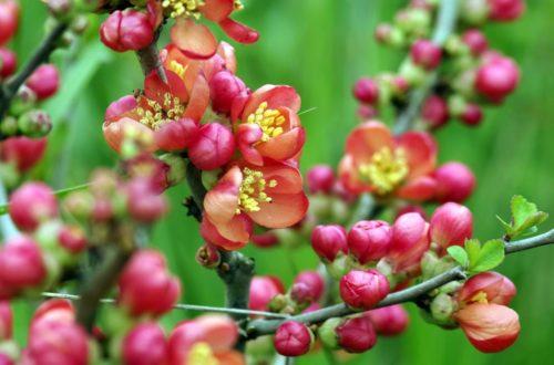 Come coltivare la Chaenomeles e accogliere la primavera in giardino thumb