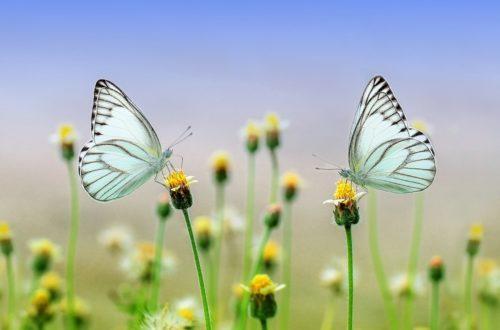 Il giardino delle farfalle: quali piante scegliere? thumb