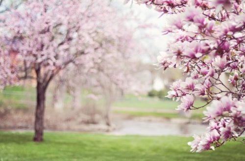 Come coltivare la Magnolia: scopri quella più adatta al tuo giardino thumb