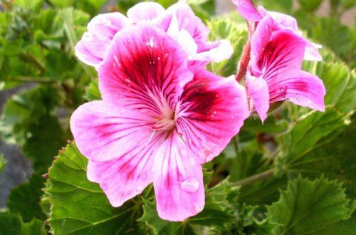 Gerani odorosi: come coltivare nuovi profumi in giardino thumb