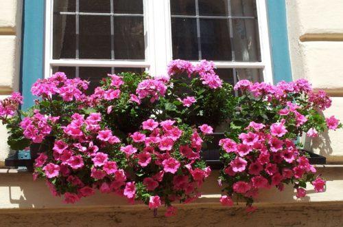 Coltivare le Petunie: per balconi e giardini che amano i colori thumb