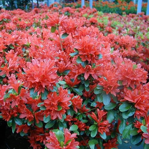 Azalea: come coltivarla in vaso o in giardino - GreenMe.it
