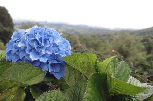 Hydrangea: come coltivare le Ortensie thumb