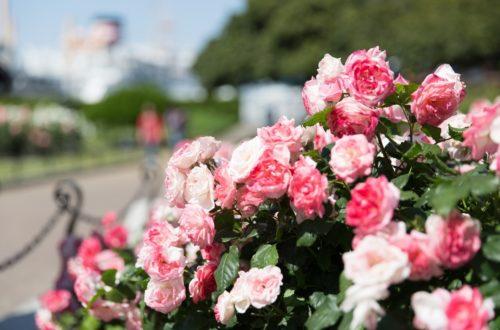Oidio: come eliminare il mal bianco dalle piante ornamentali thumb