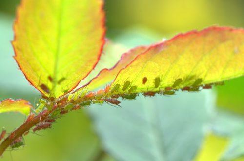 Afidi: come eliminarli dalle piante ornamentali thumb