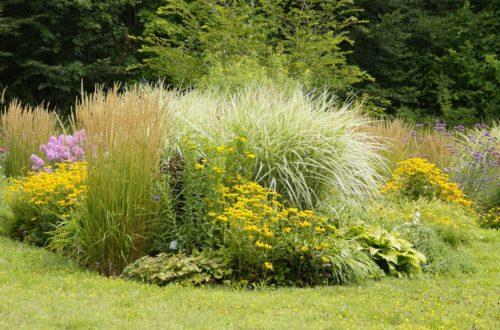 Come usare le Graminacee in giardino: la bellezza della semplicità della natura thumb