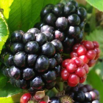 Coltivare i frutti di bosco more e mirtilli per rimanere for Coltivare more in vaso