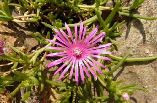 Come coltivare il Delosperma: per chi vuole fiori fino in inverno thumb