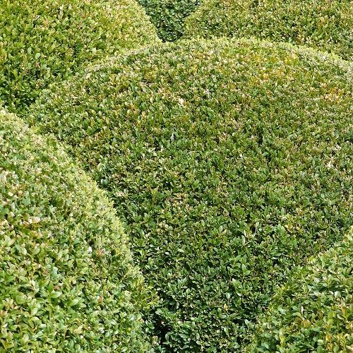 Come scegliere la siepe scopri le piante adatte per ogni for Bosso siepe