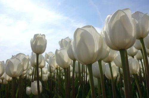 Come coltivare i bulbi autunnali thumb