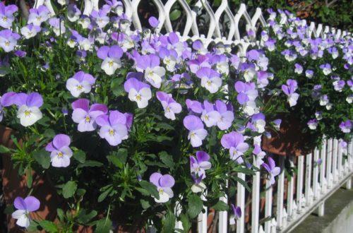 Coltivare le Viole del Pensiero: per chi ama i fiori anche in inverno thumb