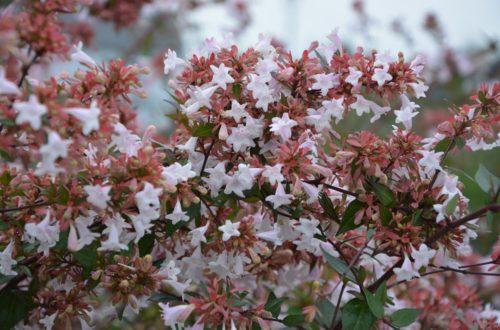 Come curare la Abelia e ottenere fioriture abbondanti in autunno thumb