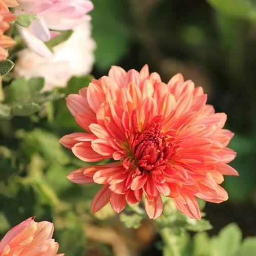 Come coltivare i crisantemi in vaso o in giardino il for Un fertilizzante