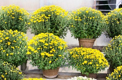Come coltivare i Crisantemi in vaso o in giardino thumb