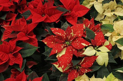 Come coltivare la Stella di Natale: iniziamo a scegliere tra l'ampia gamma di colori! thumb