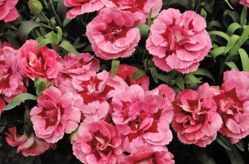 Coltivare i garofanini: colori e profumi in giardino! thumb