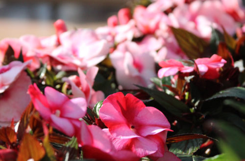 Coltivare l'Impatiens Nuova Guinea: una fioritura instancabile! thumb