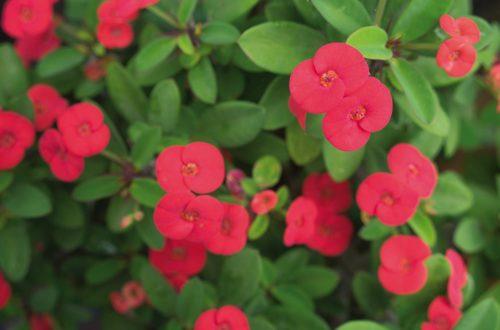 Coltivare l'Euphorbia Milii: colori accesi e fiori di lunga durata thumb
