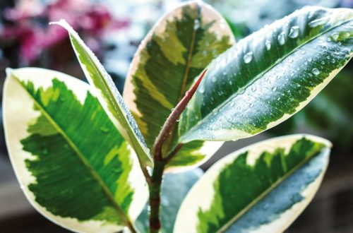 Coltivare il ficus robusta, elegante pianta da interno thumb