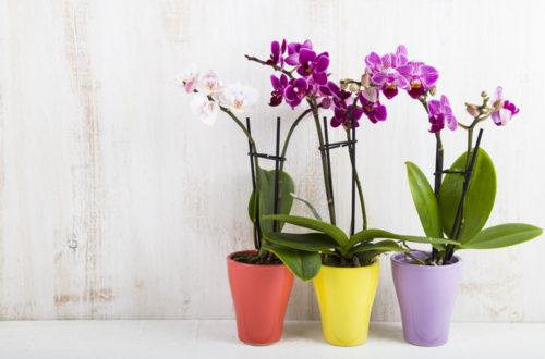 L'orchidea Phalaenopsis: coltivazione e cura thumb