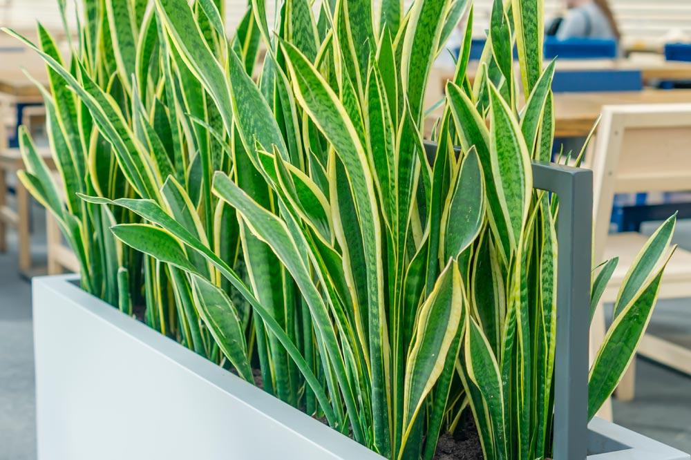 Coltivare la sanseveria pianta da interno facile bella - Piante da interno purifica aria ...