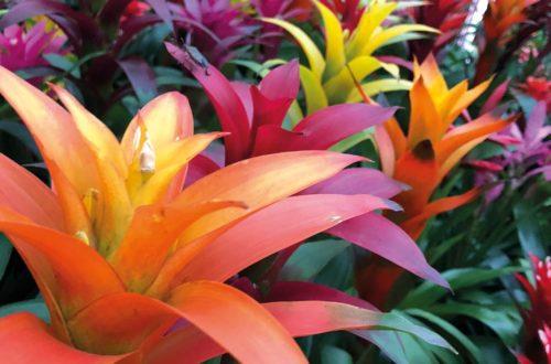 Coltivare le Bromeliacee: poca manutenzione, colori assicurati! thumb