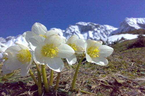Coltivare l'Elleboro: meraviglioso segno di primavera, in inverno! thumb