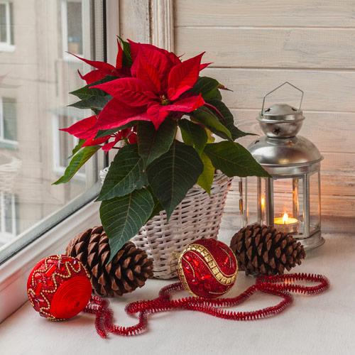 Storia Della Stella Di Natale.I Segreti Della Stella Di Natale Il Germoglio