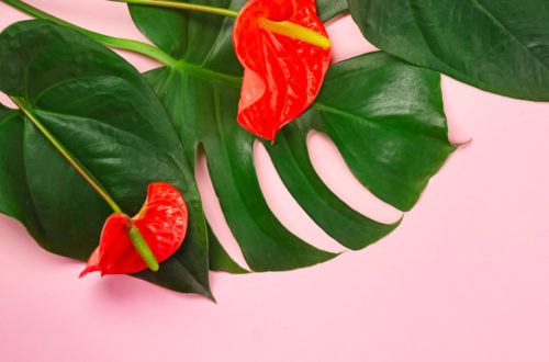Anthurium: pianta elegante e chic thumb