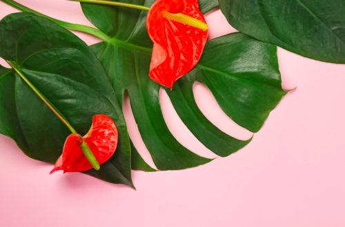 Anthurium: pianta elegante e chic thumb