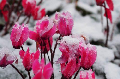 Come curare il Ciclamino: un tocco di colore nel giardino anche in inverno thumb