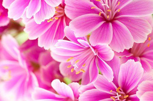 Coltivare la Lewisia, pianta dalle corolle allegre e vistose thumb