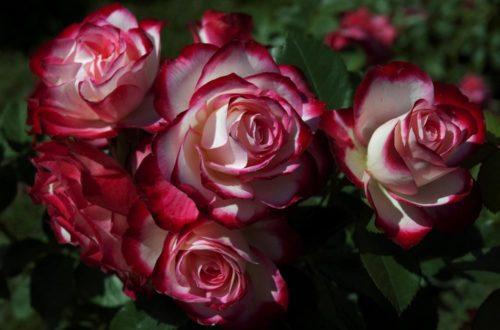 Coltivare la rosa a fiore grande, simbolo di passione amorosa thumb