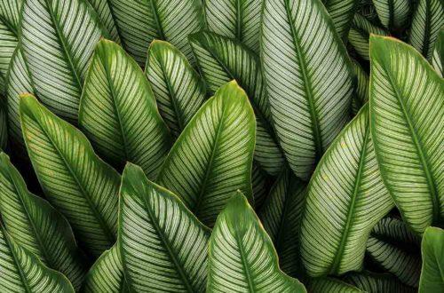 Coltivare la Maranta, pianta elegante e durevole thumb