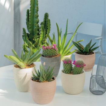 Piante Succulente in vaso di ceramica mix
