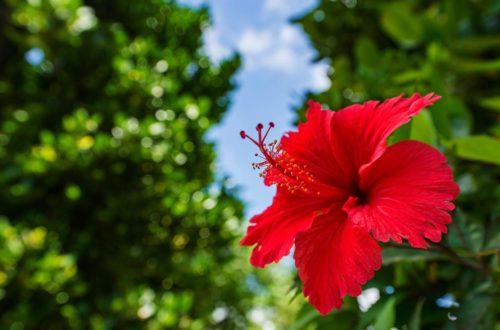 L'Ibisco evoca affascinanti magie tropicali thumb