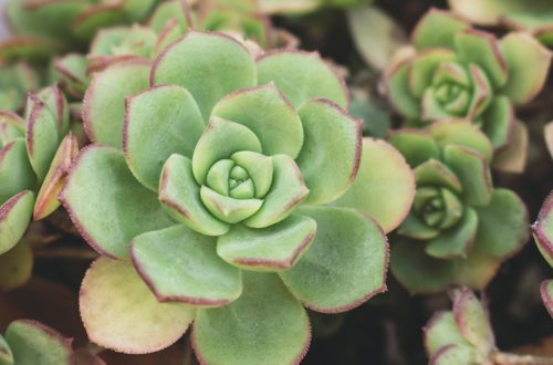 "Coltivare l'Echeveria, la pianta ""no problem"" thumb"