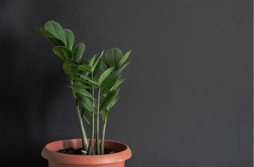 Coltivare la zamioculcas, la pianta d'appartamento che depura l'aria thumb